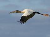 Wood Stork  Mycteria Americana  in Flight