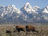 Buffalo or Bison Bulls, Bison Bison, in Front of the Teton Range Papier Photo par Greg Winston
