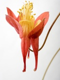 Close Up of an American Columbine  Aquilegia Canadensis