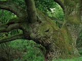 One of Germany's Most Impressive Old Oak Trees