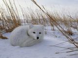 Arctic Fox  Alopex Lagopus  in it's Winter Coat  Snuggled Down in Snow