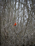 A Red Cardinal Perches in a Leafless Tree