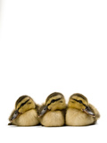 A Mallard Duckling  Anas Platyrhynchos