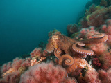 A Pacific Giant Octopus Crawls over a Colorful Anemone Filled Bottom