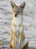 Portrait of a Black-Backed Jackal  Canis Mesomelas