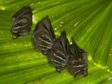 Tent Making Bats Share Space on a Giant Leaf