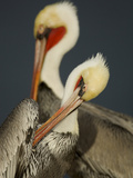 A Brown Pelican  Pelecanus Occidentalis  Preening