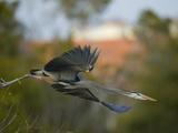 A Great Blue Heron  Ardea Herodias  in Flight