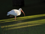 A White Ibis Hunts for Food in Shallow Duckweed-Covered Water