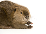 Portrait of a Beaver, Castor Canadensis Papier Photo par Joel Sartore