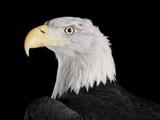 A Bald Eagle  Haliaeetus Leucocephalus