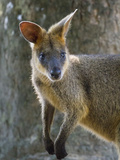 A Wallaby Perks its Ears and Looks Around