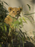 Lion Cub  Panthera Leo  Exploring its Enclosure