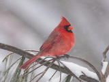A Male Northern Cardinal with Fluffed Up Feathers in a Snowstorm