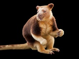 An Endangered Goodfellow's Tree-Kangaroo  Dendrolagus Goodfellowi