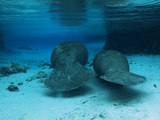 Manatees Swim Gently Just under the Surface in Three Sisters Spring