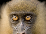 A Captive Juvenile Mandrill  Mandrillus Sphinx