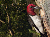 A Red-Headed Woodpecker Perches by its Nest Cavity