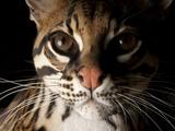 A Federally Endangered Ocelot  Leopardus Pardalis
