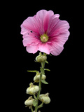 A Common Hollyhock Flower  Alcea Rosea