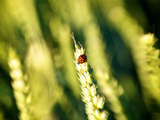 A Ladybug on the Seed Head of a Grain Plant