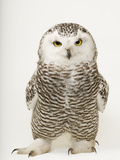 A Female Snowy Owl, Bubo Scandiacus, at Raptor Recovery Nebraska Photo premium par Joel Sartore