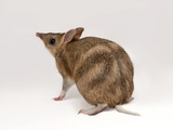 An Eastern Barred Bandicoot  Perameles Gunnii