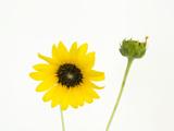 Studio Portrait of Plains Sunflower  Helianthus Petiolaris