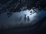 Red Deer  Cervus Elaphus  Gathering on a Misty Morning