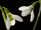 Close Up of Two Snowdrop Flowers  Galanthus Species