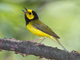Portrait of a Hooded Warbler  Singing