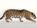 A Near Threatened Jaguar  Panthera Onca  at the Omaha Zoo
