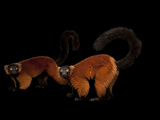 An Endangered Red Ruffed Lemur  Varecia Variegata Rubra