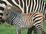 A Young Common Zebra  Equus Quagga  Next to its Mother