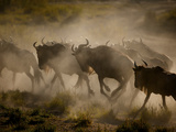 A Herd of Wildebeests Kick Up Clouds of Dust on the Serengeti Plain
