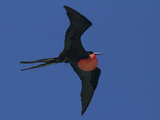 A Male Frigatebird Expands its Gular Pouch to Attract a Mate