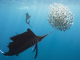 Atlantic Sailfish Attack and Surround a Baitball of Sardines