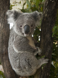 A Wounded Federally Threatened Koala Sits in a Tree in an Enclosure at a Wildlife Hospital
