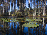 Lily Pads Float on the Water's Surface in Cypress Gardens