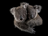 A Pair of Federally Threatened Koala Joeys Snuggle Together