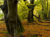 Large Old European Beech Trees  Fagus Sylvatica  in Autumn