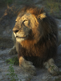 Portrait of a Lion  Panthera Leo  Resting in Late Evening Sunlight