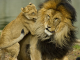 A Lions and Cub  Panthera Leo  Socializing in their Enclosure