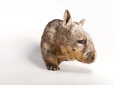 A Southern Hairy-Nosed Wombat  Lasiorhinus Latifrons