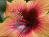 Close Up of a Cultivated Hibiscus Flower