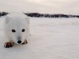 Arctic Fox  Alopex Lagopus  in it's Winter Coat  Approaching Camera