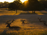 Red Deer  Cervus Elaphus  Resting on a Summer Evening