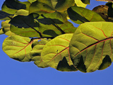 Wild Sea Grape Leaves Shine in the Afternoon Sun
