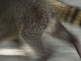 A Crab-Eating Raccoon Runs Through Manuel Antonio National Park