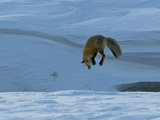 A Red Fox Eyes Where it Wants to Enter into the Snow